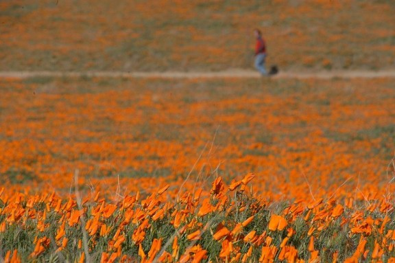 Signs that Spring is coming. Antelope-valley-lancaster-poppy-reserve-2-576x383