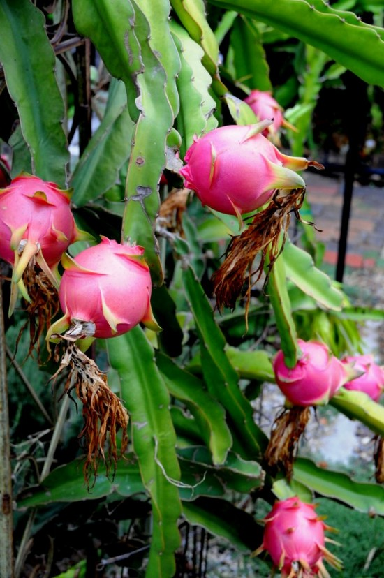 Dragon Fruit Flowers and Dragon Fruit Vines Plant   @whiteonrice
