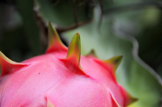Pitaya Fruit Vines Plant | @whiteonrice