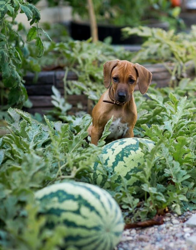 How to pick sweet watermelon ? Lexi in garden