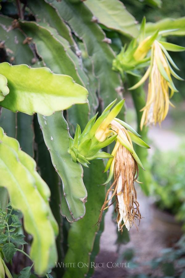 pitaya flowers on vine