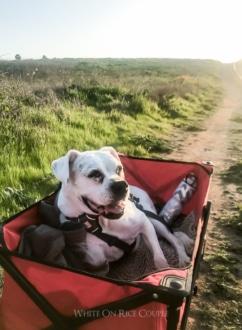Wagon for old dog | WhiteOnRiceCouple.com