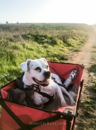 Wagon for old dog   WhiteOnRiceCouple.com