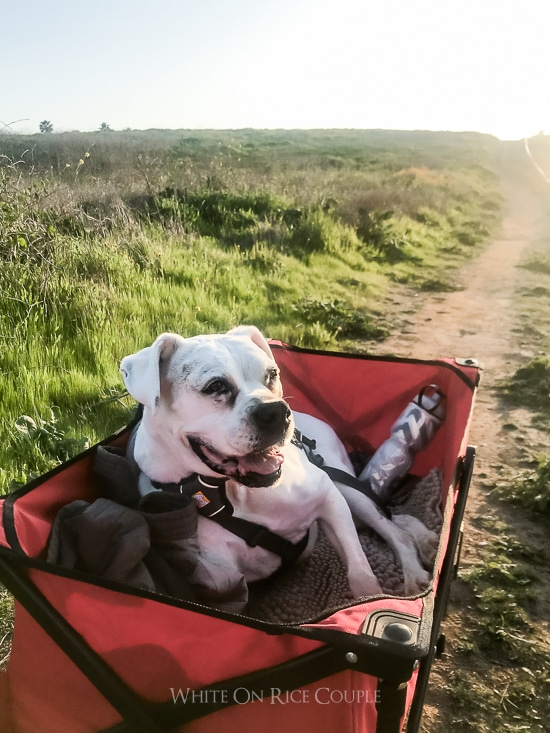 Wagon for Senior Dog who can't walk | WhiteOnRiceCouple.com