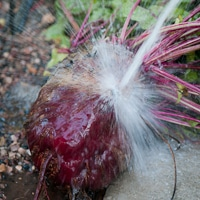 Thumbnail image for Mega Beet Root Henry- Guess his weight & Knife Giveaway