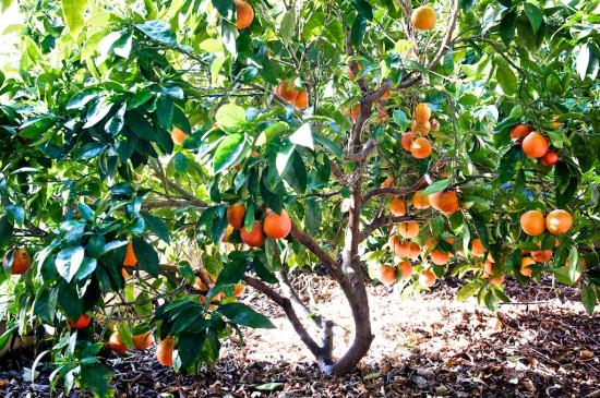Our tree ro Blood Orange Margarita Cocktail Recipe