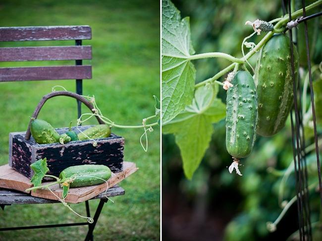 home grown cucumbers