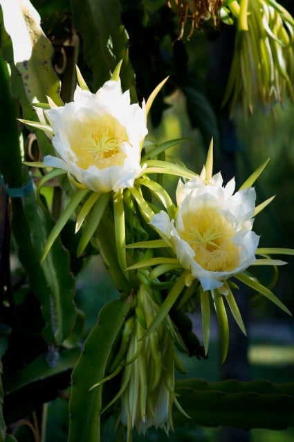 Dragon fruit Flowers and Dragon Fruit Vines Plant | @whiteonrice