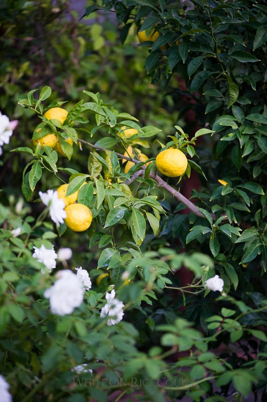Japanese Yuzu Citrus Fruit from @whiteonrice garden