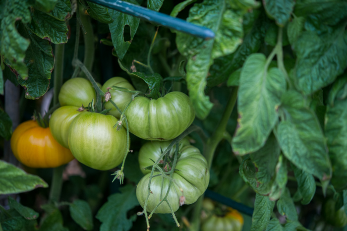 Tomatoes on a vine plant