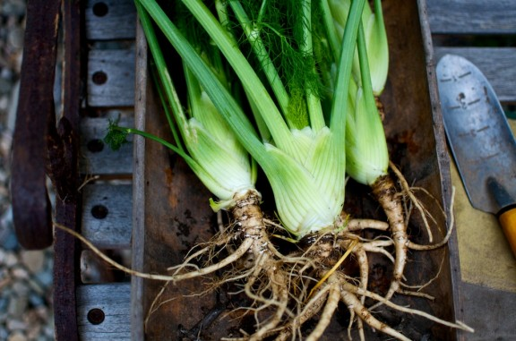 grilled-fennel-bulbs