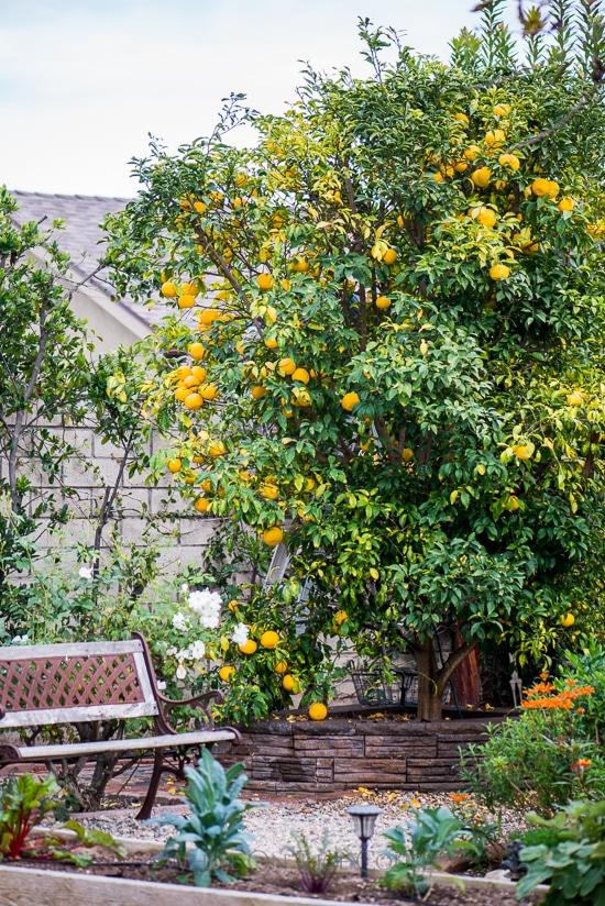 Japanese Yuzu Citrus Tree | WhiteOnRiceCouple.com