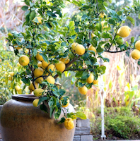 container gardening for fruit trees