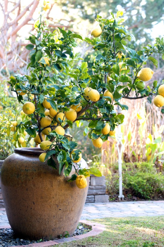 How To Grow Lemon Tree in Pot | photo copyright to @whiteonrice