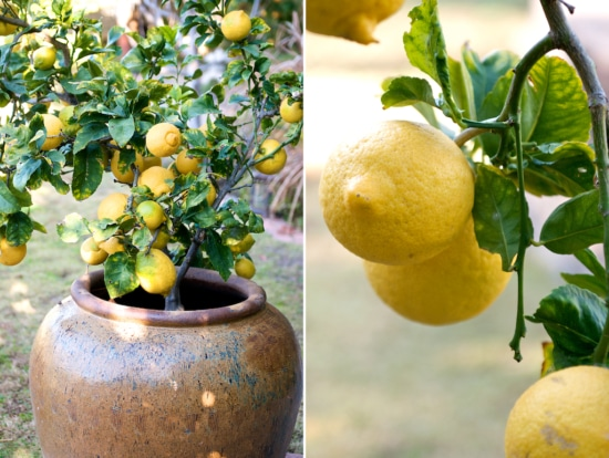 Lemon on tree and tree in a pot