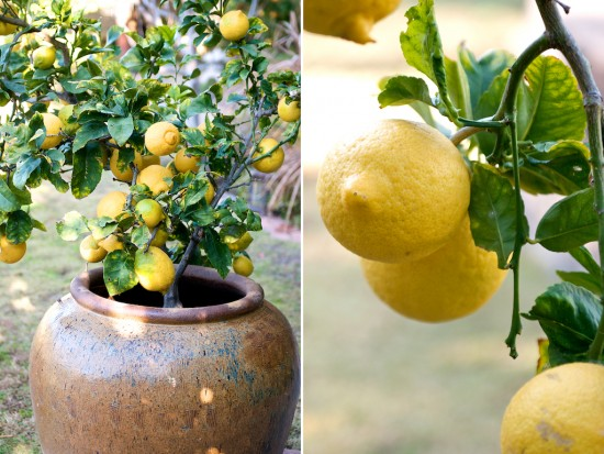 Container Gardening | How to grow lemon fruit trees in