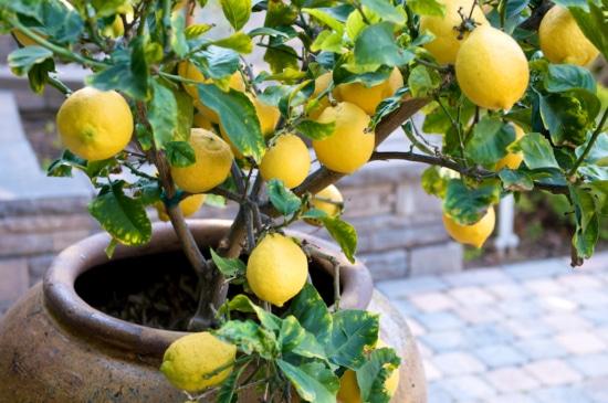 Lemon tree in beautiful ceramic pot