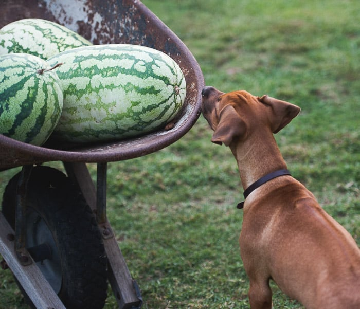 How to Choose a Juicy Ripe Watermelon? Here's some tips to look for