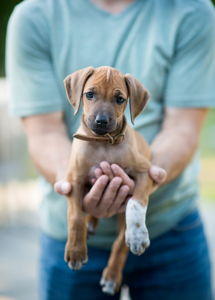rhodesian ridgeback puppy Lexi at WhiteOnRiceCouple.com