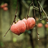 Thumbnail image for Persimmon Poem