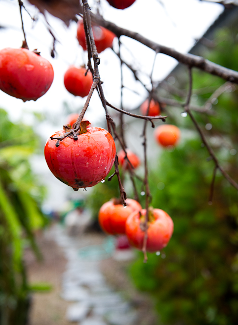 Persimmon tree photos and fruit