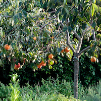 Thumbnail image for Persimmon Tree's Overwatering & loss of fruit/flower