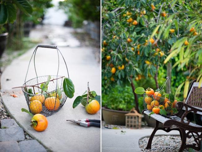 Giant Fuyu Persimmon Tree Variety and Fruit Photos | WhiteOnRiceCouple.com