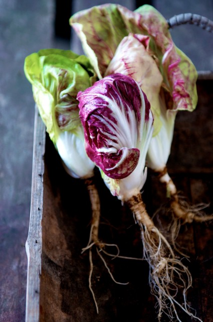 radicchio italian red chicory