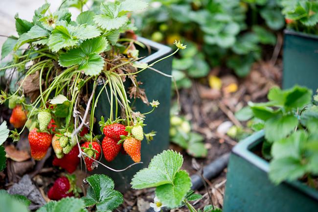 Strawberry Garden | WhiteOnRiceCouple.com