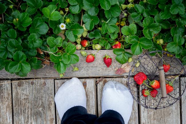 strawberry garden Todd and Diane WhiteOnRicecouple.com