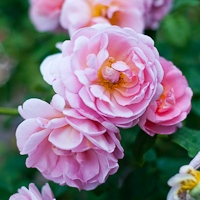 Thumbnail image for Huntington Library Rose Garden Glory