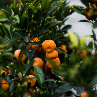 Thumbnail image for Sharing the Kishu Mandarins
