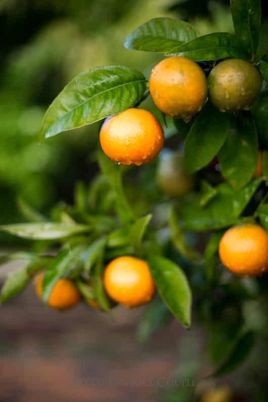 Fremont Tangerines Mandarin Varieties | @whiteonrice