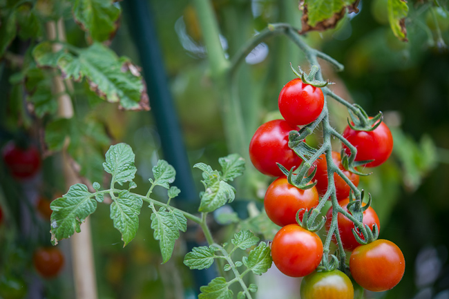 sweet million tomatoes variety in Todd and Diane's Garden | WhiteOnRiceCouple