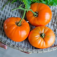 Thumbnail image for Heirloom Kentucky Beefsteak Tomatoes