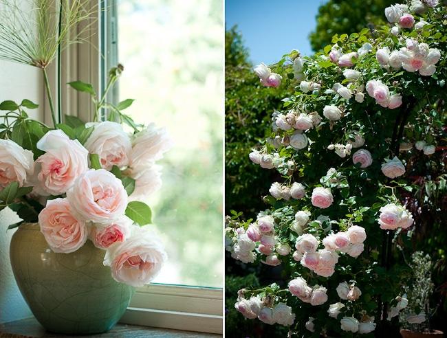 climbing eden roses